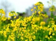 油菜花朵朵油菜花
